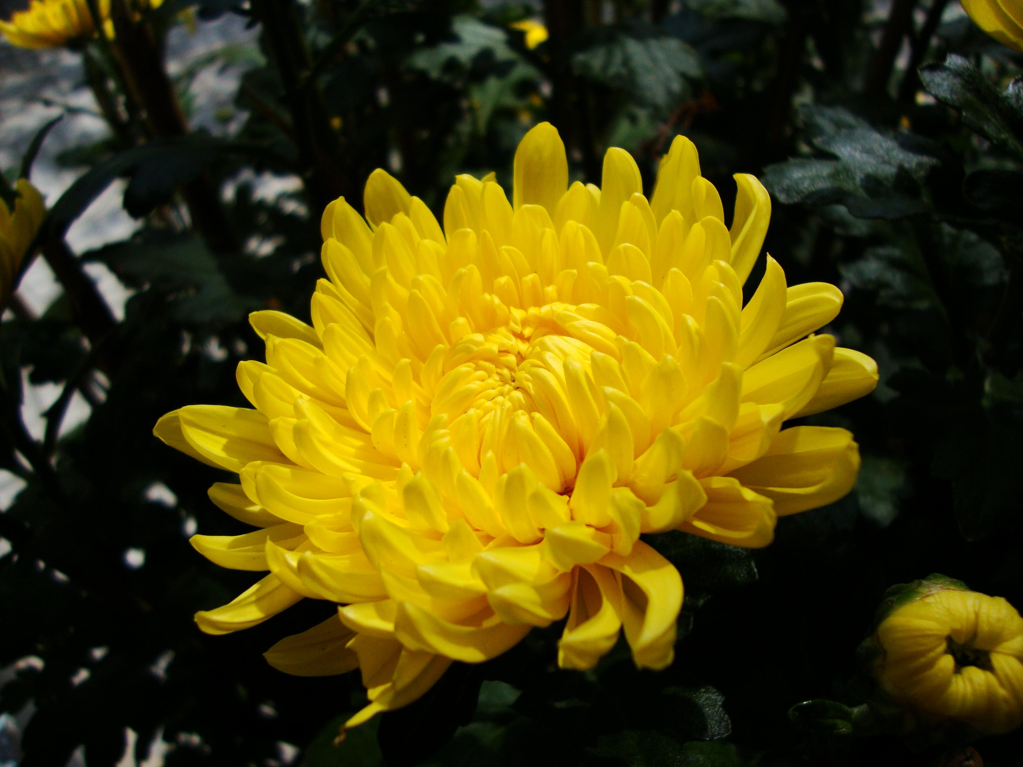 chrysanthemum_morifolium_2